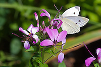 Cabbage white moth butterfly adult on Cleome Senorita Rosalita annual flowers, Pieris rapae, imported garden pest