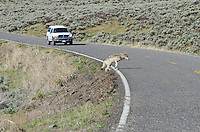 Wild Yellowstone gray wolf (Canis lupus) crossing road in Lamar Valley.  Yellowstone National Park, Wyoming.  Late spring.