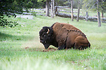 Male American Bison (Bison bison) dust bathing / rolling in dust in the Lamar Valley. Yellowstone National Park, Wyoming, USA. June