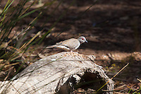 Diamond Dove, Alice Springs Desert Park, NT, Australia
