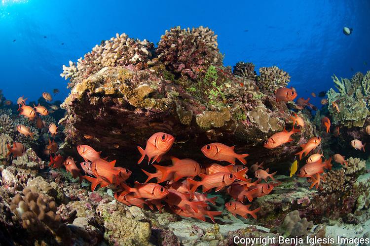 Small school of bigscale soldierfish under a rock at reefs end Molokini Maui hawaii.45 feet deep.