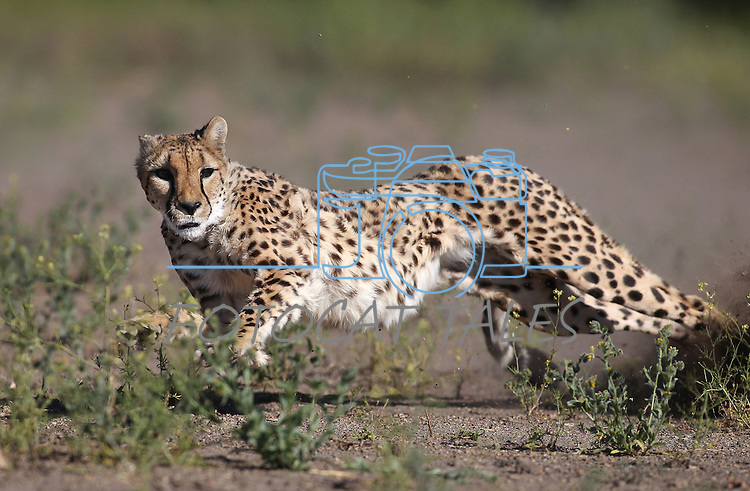 Thirteen-year-old Zulu runs in the high-speed cheetah exercise course at the Animal Ark Wildlife Sanctuary on Thursday, June 30, 2011 north of Reno, Nev. .Photo by Cathleen Allison