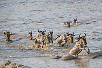 "Pictured: Hundreds of wildebeest make their annual crossing across the Mara River in Northern Tanzania.<br /> <br /> The incredible sight was captured by Nina Waffenschmidt.<br /> <br /> Nina said, ""our patience paid off and after a long wait, the wildebeest decided to cross the river.  The point they chose to cross was difficult due to large rocks and a lot of mud, so some of them got stuck but most of them made it safely across.""<br /> <br /> ""It was great to witness the build up and drama of the crossing.""<br /> <br /> Please byline: Nina Waffenschmidt/Solent News<br /> <br /> © Nina Waffenschmidt/Solent News & Photo Agency<br /> UK +44 (0) 2380 458800"