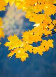 Oesterreich; Salzburger Land; Pinzgau, bei Thumersbach: Herbststimmung am Zeller See | Austria; Salzburger Land; Pinzgau region, near Thumersbach: autumn leaves at Zeller Lake region