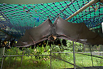 Tolga Bat Hospital -Spectacled Flying Foxes (Pteropus conspicillatus) with one bat with wings outstretched.