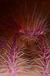 Hairy Squat Lobster 8-21-18-4906, Anilao, Philippines, Coconut , Compliments Dream Tour 3, 2018