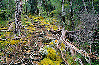 Beech trees roots on the Pelorus Track - Mt. Richmond Forest Park, Nelson Region, New Zealand