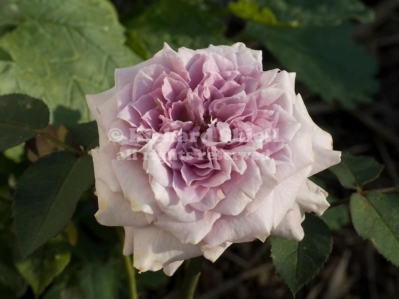 Lavender Crystal miniature Rose, Rosa hybrid