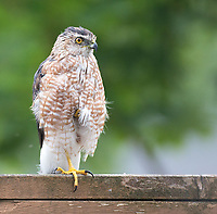 It was hard to tell the ID of this bird, perhaps because it was a bit wet and the feathers were ruffled. So it's possible it could be a Sharp-shinned Hawk which perched on our fence looking for small birds.