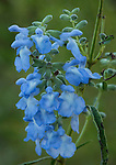 Blue Sage (Salvia azurea) wildflower