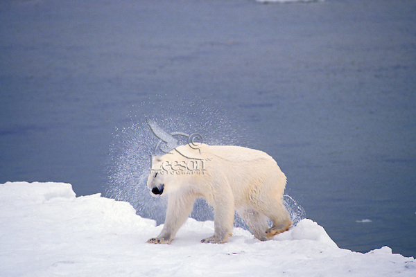 Polar Bear shaking off water after a swim.