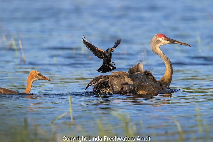 Red-winged blackbird attacking a sandhill crane