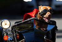 Pit bull mix, Lucy, rides in a Liberty Sidecar next to her mom, Brande Schweitzer, (not seen) who drives a Harley-Davidson, in Seattle, Washington.