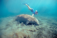 young snorkeler and dugong or sea cow, Dugong dugon, feeding on bottom, (Indo-Pacific Ocean)