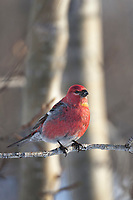 Male pine grosbeak in spring plumage perched on a balsam poplar tree branch.