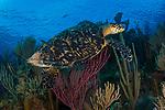 Hawksbill turtle on colorful reef, Cuba Underwater, Jardines de la Reina, Protected Marine park underwater,