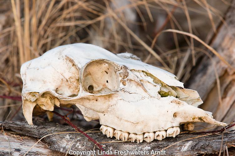 White-tailed deer skull