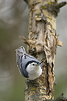 White-breasted nuthatch clinging to a poplar tree