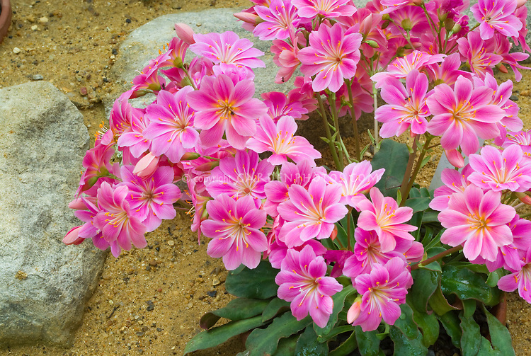 Lewisia cotyledon - pink flowers, native American wildflower, western states