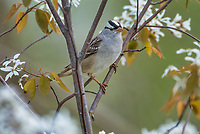 White-crowned Sparrow (Zonotrichia leucophrys) in flowering serviceberry bush.  Great Lakes Region, May.