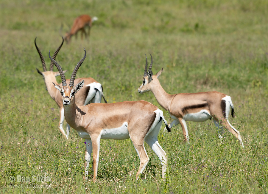 Grant's Gazelles, Nanger granti, in Lake Nakuru National Park, Kenya