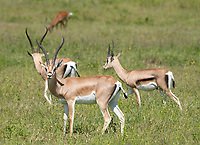 Grant's Gazelles, Nanger granti, in Lake Nakuru National Park, Kenya