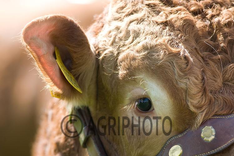 .Limousin Bull