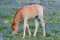 Wild Horse or feral horse (Equus ferus caballus) colt feeding.  Western U.S., summer.