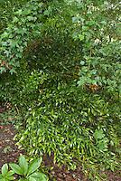 Danae racemosa