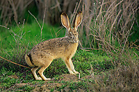 Black-tailed jackrabbit (Lepus californicus).  Western U.S.