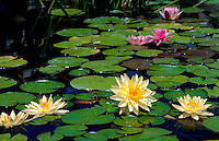 Hardy Water Lilies (Nymphaea) in a water garden. Arizona.