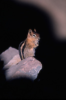 A Golden-mantled ground squirrel sits on a rock. Oregon.