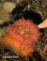 1Y23-512z  Northern Sea Anemone, Urticina felina or Tealia felina