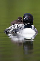 Loon Chick catching a ride