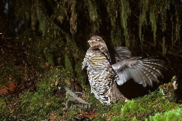Male ruffed grouse (Bonasa umbellus) drumming--spring territorial, mating display--Western U.S.
