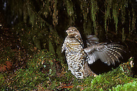 Male ruffed grouse (Bonasa umbellus) drumming--spring territorial, mating display--Western U.S.