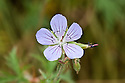 Geranium pratense 'Mrs Kendall Clark', end June.