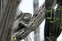 Iguana, Iguana sp, on cactus branch, Bonaire, Netherlands Antilles, Caribbean, Atlantic