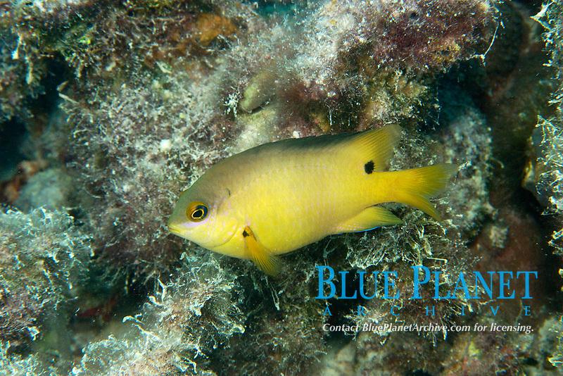 Dusky gregory (farmerfish), Stegastes nigricans; this fish farms the algae it consumes, Ailuk atoll, Marshall Islands, Pacific Ocean