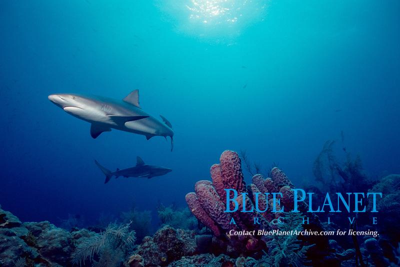 Caribbean reef sharks, Carcharhinus perezii, Nassau, New Providence Island, Bahamas, Caribbean Sea, Atlantic Ocean