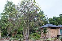 Brachychiton, Taft Gardens; Ojai, California