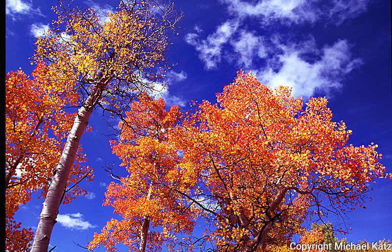 Orange aspens, near Ouray, Colorado