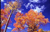 Orange aspens, near Ouray, Colorado
