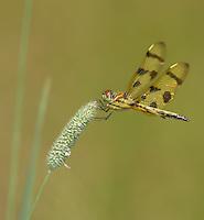 Halloween Pennant (Celithemis eponina) Dragonfly - Female Ward Pound Ridge Reservation, Cross River, Westchester County, New York