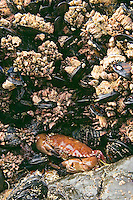 Rock Crab hides among mussels and barnacles at low tide along Oregon coast.