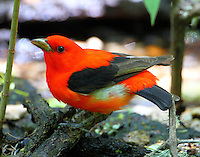 Male scarlet tanager with patch of white feathers