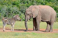 African bush elephant bull (Loxodonta africana) drinking face to face with Burchell's zebra (Equus quagga burchellii) at waterhole, Addo Elephant National Park, Eastern Cape, South Africa, Africa