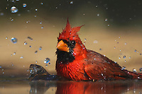 Northern Cardinal (Cardinalis cardinalis),male bathing, Rio Grande Valley, Texas, USA