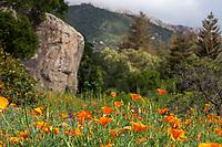 Eschscholzia californica - California poppies flowering in the meadow at Santa Barbara Botanic Garden in front of Blaksley Boulder