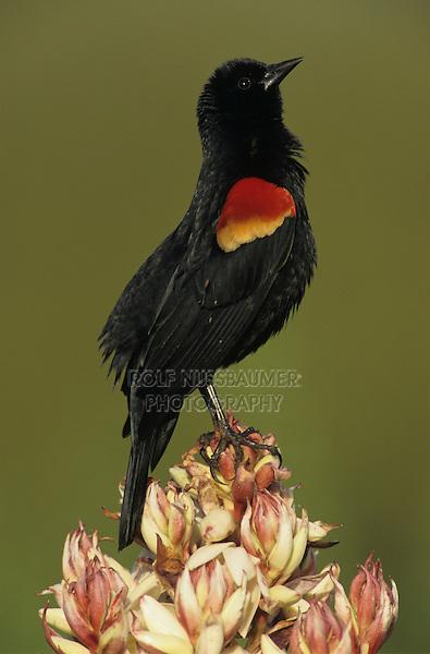 Red-winged Blackbird, Agelaius phoeniceus, male singing on blooming Trecul Yucca (Yucca treculeana), Lake Corpus Christi, Texas, USA
